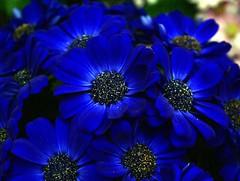 blue flowers-Cineraria (Carplips) Tags: flowers blue flower petals spokane bloom manitopark cineraria blueflower interestingness137 i500 gaiserconservatory