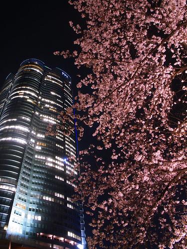 六本木ヒルズに桜