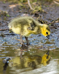 Is that me? (Mark Klotz) Tags: canada reflection nature geese bc goslings gosling animalplanet canadageese feathery animalbabies babyanimals babygeese burnabylake markklotz goslingreflection
