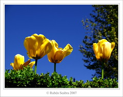 Yellow Tulips (*atrium09) Tags: travel flowers espaa flores eye topf25 spain tulips olympus tulipanes naturesfinest e330 blueribbonwinner supershot outstandingshots flickrsbest atrium09 challengeyouwinner mywinners abigfave anawesomeshot colorphotoaward superaplus aplusphoto 200750plusfaves superbmasterpiece flickrphotoaward rubenseabra