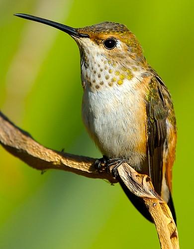 Hummingbird Portrait 7