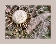 Dandelion Seedhead - by pictoscribe