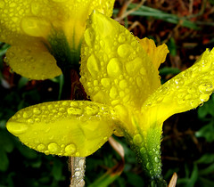 Daffodil & Rain Drops by photoholic1, on Flickr