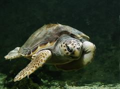 Sea Turtle (Mondmann) Tags: nature washingtondc underwater turtle reptile wildlife nikond50 aquatic seaturtle undersea nationalaquarium specanimal animalkingdomelite