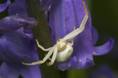 """Flower Spider (Misumena vatia)(1) • <a style=""""font-size:0.8em;"""" href=""""http://www.flickr.com/photos/57024565@N00/479831536/"""" target=""""_blank"""">View on Flickr</a>"""