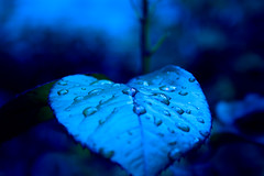 Drops sleeping with the moonlight (~mohsentaleb) Tags: blue leaf drops moonlight