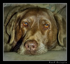 Poppy on Sofa (Ducatirider -) Tags: dog dogs nikon labrador nikond100 poppy d100 chocolatelabrador flickrsbest nikonstunninggallery ducatirider abigfave favoritesonly impressedbeauty paulcrispin