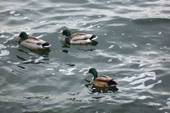 Male Ducks