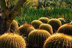 Barrel Cactus (Pritha Photography) Tags: helios44 helioslenses manuallensphotography nature arizonacactus arizona backlit naturephotos vintagelens vintagelensphotograhy