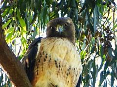 Red Tailed Hawk  (Explored 12/07/2016) (timber1212) Tags: ebparksok ebrp coyotehills chrp sfbayarea hawk bird park ca cold