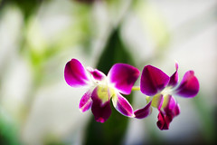 Twins (kktp_) Tags: flowers orchid flower nature d50 thailand twins nikon dof searchthebest bokeh bangkok dendrobium excellence 85mmf14d  primelenes abigfave impressedbeauty