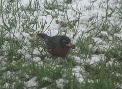 eating robin