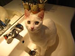 Pamuk (Marchnwe) Tags: light white water cat