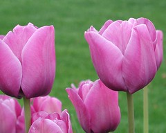 flower7 (erdemselvi) Tags: mor lale laleler