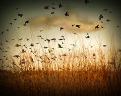 Birds (ilina s) Tags: blue light sunset sky orange cloud bird nature grass birds clouds daylight fly flying flock dream 200 mysterious photoart sunlightlight ilinas