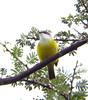 Green-backed Eremomela (Langooney) Tags: birds kenya digiscoping fbwnewbird fbwadded greenbackederemomela eremomelacanescens