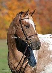 Appaloosa Portrait (myhorse) Tags: autumn portrait horses horse ontario canada fall vertical appaloosa spots spotted equestrian equine headstudy leslietownequestrianphotography