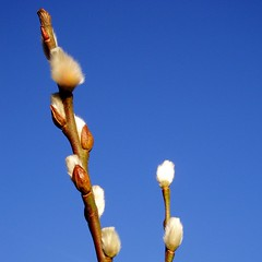 Pussy willow poetica (cattycamehome) Tags: wood blue winter sky sun macro tree nature sunshine tag3 taggedout spring bravo poetry tag2 poem branch all tag1 reaching quote  fluffy poetic growth willow rights catkin poems reserved pussywillow gibran catherineingram salicaceae outstandingshots february2007 cattycamehome allrightsreserved