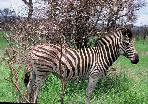 Equus burchellii