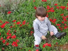 (den den) Tags:   windflowers  poppiesfield