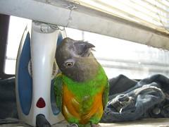 Bijou and the Iron (viperkitten191) Tags: green bird iron beak parrot vert oiseau loro vogel senegalparrot cotorra lorie poicephalus senegalus