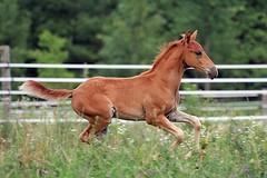 1600w (myhorse) Tags: summer horses horse ontario canada horizontal action mango chestnut equestrian colt canter gallop pasofino foal finavista leslietownequestrianphotography