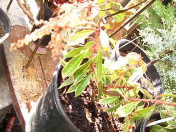 Pieris japonica variegata