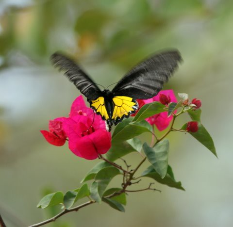Southern Birdwing on Bougainvillea