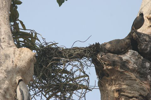 the Mynah with nesting material (9)