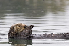 sea-otter-morro-bay_06