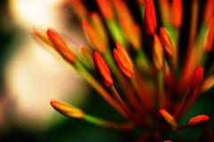 Rouge passion (kktp_) Tags: flowers flower macro nature d50 nikon bravo bokeh explore splendiferous  explorefrontpage tamronspaf90mmf28dimacro11 abigfave artlibre anawesomeshot explore25feb07