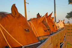 Bombeando (Eduardo Amorim) Tags: brazil horses southamerica brasil caballos cavalos pelotas riograndedosul pampa campanha brsil chevaux amricadosul amriquedusud sudamrica suramrica amricadelsur sdamerika costadoce americadelsud impressedbeauty americameridionale eduardoamorim