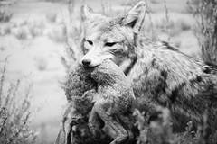 Said the Coyote to the Rabbit - by Thomas Hawk