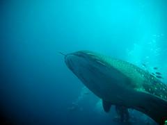 Whale Shark at Richelieu Rock (_takau99) Tags: ocean trip travel sea vacation holiday fish uw nature water topv111 thailand island islands march shark topv555 topv333 nikon marine asia southeastasia underwater indian indianocean topv444 dive scuba diving topv222 thai tropical coolpix scubadiving whale s1 whaleshark phuket reef similan khaolak 2007 surin andaman andamansea richelieu similanislands nikoncoolpix similanisland takau99 richelieurock edive