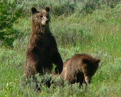 P1090126 (Krisphotographer) Tags: bear nature ilovenature wildlife teton animalplanet naturescenes naturesfinest pdpnw natureoutpost