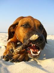Bad Girl (AndreasD200) Tags: sea dog sand meer amy teeth ridgeback strandgut rhodesian