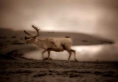 Reindeer (Krogen) Tags: bw norway norge blackwhite olympus c7070 krogen femunden