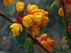 fleur poison (Julie70 Joyoflife) Tags: 15fav france fleurs spring 2006 printemps 2007 argenteuil julieargenteuil