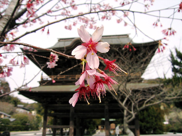 Sakura in front of temple gate