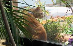 Cat In A Window (rainy city) Tags: windows cat orangecat simba catsandwindows kittyschoice