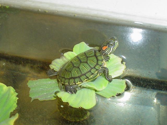 Tortugas de orejas rojas reproduccion asexual en