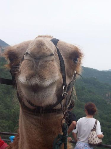 Camel - Chameau - Camelo