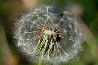 Thêm một chút cho hoa Bồ Công Anh - By Boong Boong - Yahoo 360! 430193050_4106621375