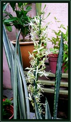 A flowering stalk of White Snakeplant/Sansevieria