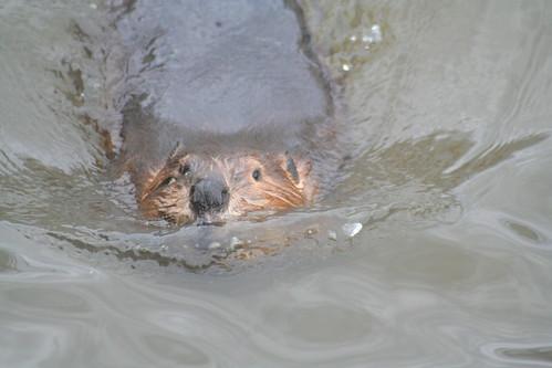 american beaver swimming
