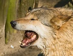 yummy (Laenulfean) Tags: animal wolf teeth meat snack