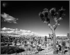 A Joshua Tree (Chris28mm) Tags: california blackandwhite bw usa tree film analog landscape joshuatree lancaster 4x5 largeformat redfilter acros toyo ebonyandivory lancastercalifornia 210mm fineartphotos picswithframes chris28mm treesubject copyright2007chrisjackson