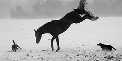 Bucking Mad (Mr. Physics) Tags: winter blackandwhite bw horse snow storm motion cold dogs nature wind action buck stable equestrian stallion bucking workingdogs msoller