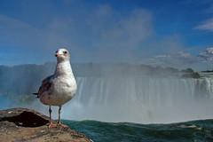 Gull. Falls! (graspnext) Tags: featheryfriday avianexcellence superhearts photofaceoffwinner photofaceoffplatinum pfogold