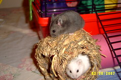 Two Dwarf Hamster Pups Playing with Hemp Nest (Chester the Dwarf Hamster) Tags: seattle winter baby white john mammal rodent pups chelsea babies fuzzy sweet dwarf small stripe fluffy chester hamster dorsal russian campbells